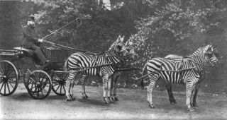 Lionel Walter Rothschild (1868-1937), 2nd Baron Rothschild, with his famed zebra carriage, which he frequently drove through London. Zebras have been successfully tamed only rarely.