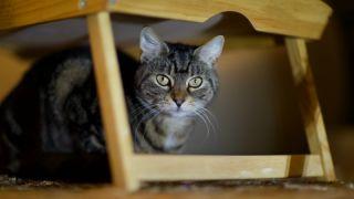 Cat hiding under tray
