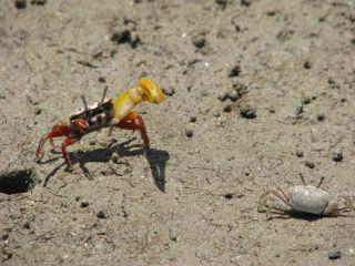 banana-fiddler-crabs