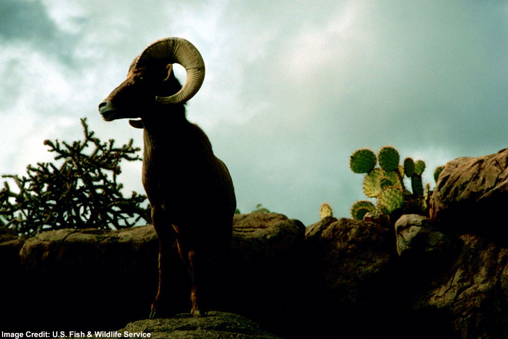 Rams Facts About Male Bighorn Sheep Live Science