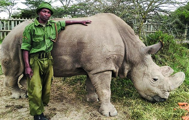 If this rhino dies, the whole species could be finished. For 15 million years, northern white rhinos roamed the planet. Now, there are three left.