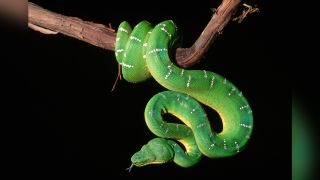 A photo of an emerald tree boa on a branch