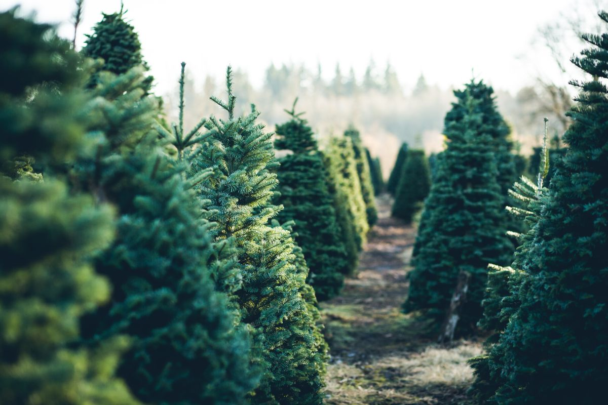 Rent your Christmas tree to be eco-festive this year ...
