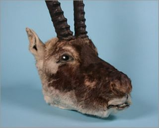The head of a Tibetan antelope. The animals live between 4 to 5 kilometers (2.5 and 3.1 miles) above sea level in Tibet.