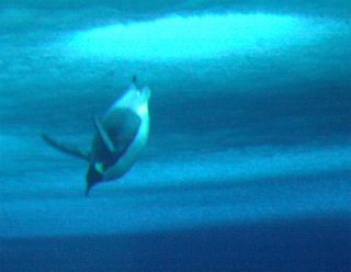 diving emperor penguin