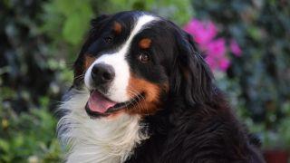 Portrait shot of Bernese Mountain dog outside