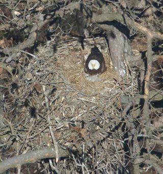 eagle chicks, conservation