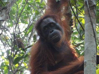 orangutan Kondor