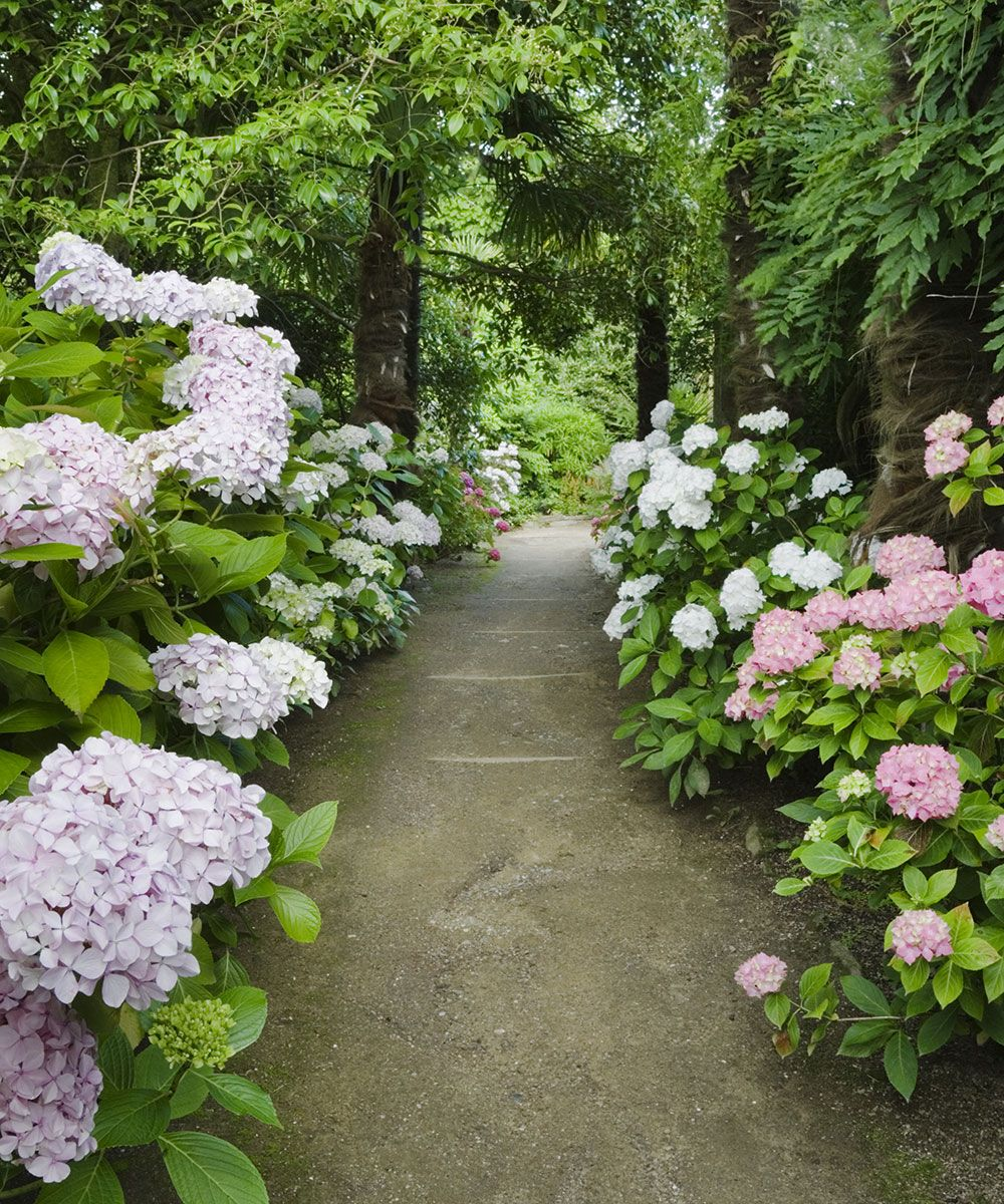 How to grow hydrangeas – with National Trust garden consultant, Ian Wright