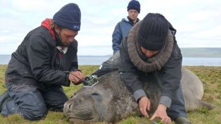 tagging southern elephant seals.