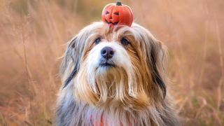 Best Halloween dog collars: Dog in field with small carved pumpkin on his head