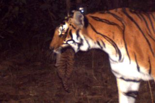 A mother tiger carries her 1-month-old cub in her mouth, as spotted by a camera trap near the Kosi River in northern India.