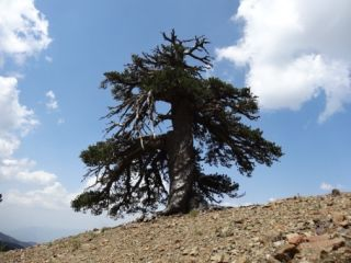 adonis the ancient bosnian pine