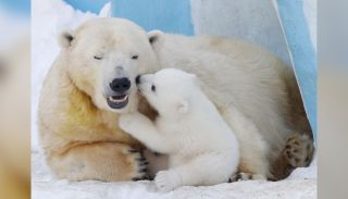 A polar bear named Gerda and a polar bear cub playing in the Novosibirsk Zoo.