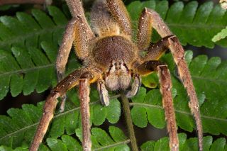 Brazilian Wandering Spiders Bites Other Facts Live Science