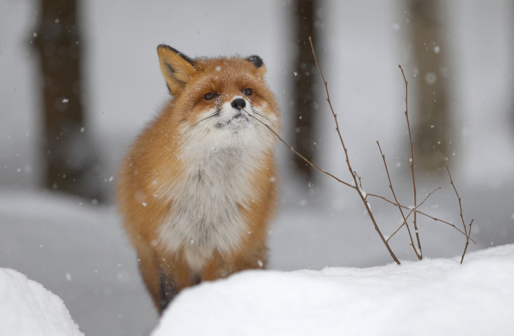 Foxes Facts Pictures Live Science