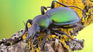 Researchers have documented large population declines in beetles, including carabid beetles, like the one shown here.