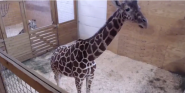 YouTube Temporarily Banned A Giraffe Live Stream For Being Sexually Explicit
