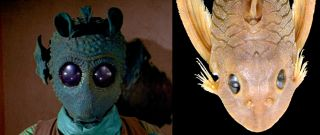 The suckermouth armored catfish (right) has been named <em>Peckoltia greedoi</em>, after the Star Wars bounty hunter Greedo (left).