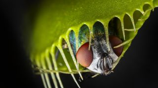 Carnivorous plants like Venus flytraps have evolved to be skillful hunters.