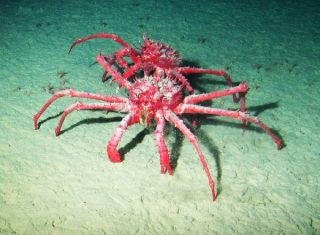 Two king crabs. King crabs were found in a deep basin on Antarctica's continental shelf.