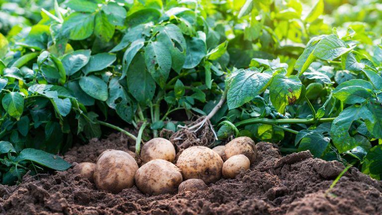 companion plants for potatoes