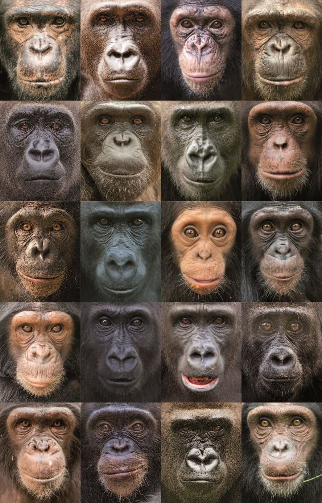 types of apes