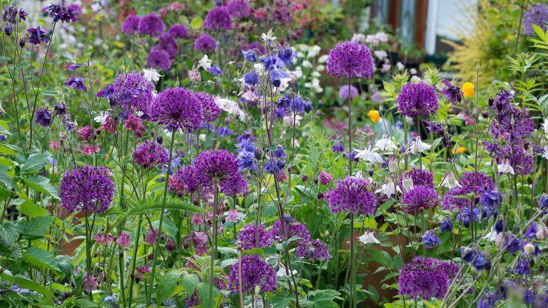 Alliums and aquilegia in an English garden