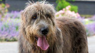Irish Wolfhound facts