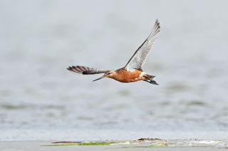 Bar-tailed godwits are impressive flyers, scaling thousands of miles without stopping.