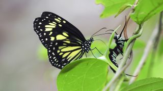 Parantica cleona, an Indonesian butterfly, contemplates its next meal.