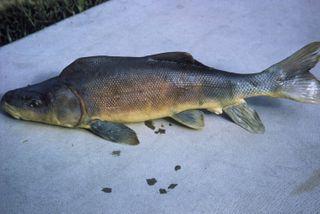 Razorback sucker fish