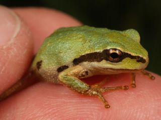 The Pacific chorus frog may be spreading a deadly fungal infection that is wiping out other amphibians around the world.