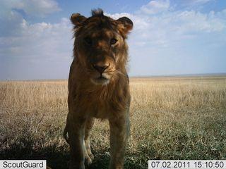 serengeti, wild animals, african animals,