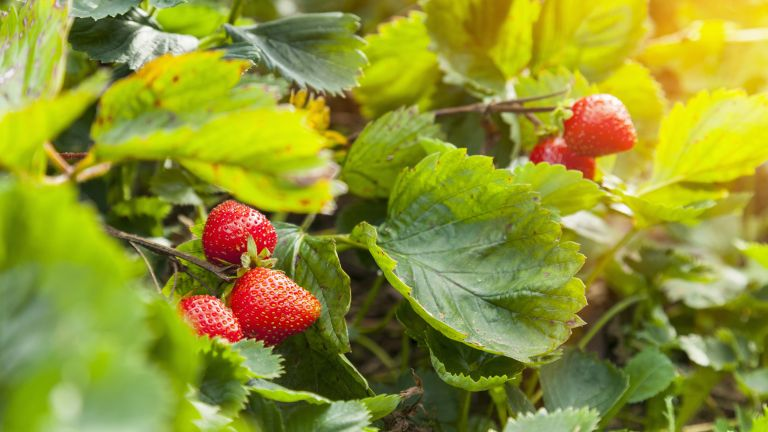 rip strawberry plants growing in a garden