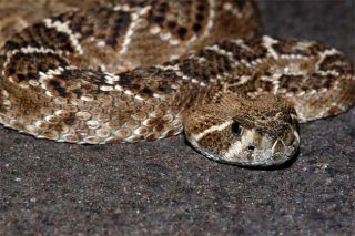 How Snakes Survive Months Without Food   Live Science