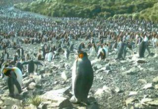 penguin pictures, penguin news, gentoo penguins, king penguins, images of penguins in antarctica, animals, camera trap pictures