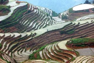 rice paddy in guanxi