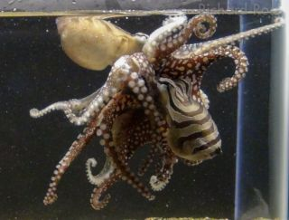 octopus-mating