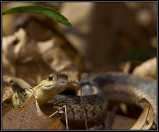 A common garter snake in the leaves.
