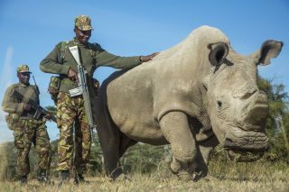 Sudan, the last male northern white rhino, is protected by armed guards John Mugo and Daniel Maina at Ol Pejeta Conservancy on June 25, 2015 in Laikipia County, Kenya.