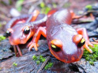 Ensatina salamanders