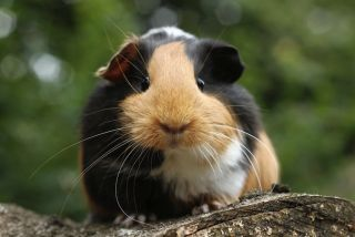 A guinea pig sitting outdoors.