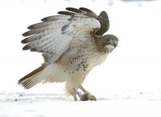 red-tail-hawk-101208-02
