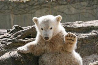 Knut at the Berlin Zoo