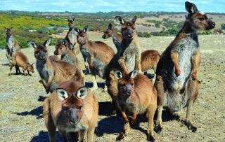 For the fourth stop of his Outback tour, Ray Mears heads to the 'wild jewel' in Australia's crown, Kangaroo Island