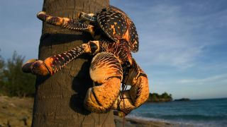 The giant coconut crab (Birgus latro) is the biggest terrestrial crab in the world.