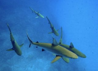 Gray reef sharks in Hawaii.