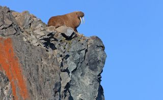 A Pacific walrus rests at the top of steep cliffs in Russia.