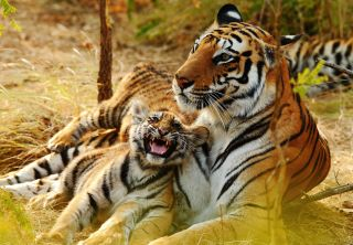 Counting Tigers: A Survival Special